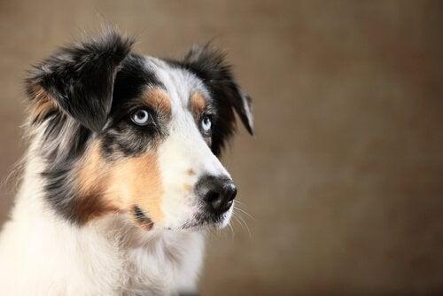 Intelligente dyr: Kan din hund narre dig?