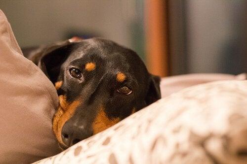 Sådan undgår du og behandler mavedrejning hos hunde