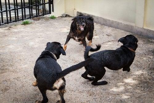 Spansk politi redder 230 hunde fra hundekamp
