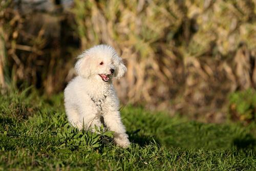 Puddelhund i glad løb