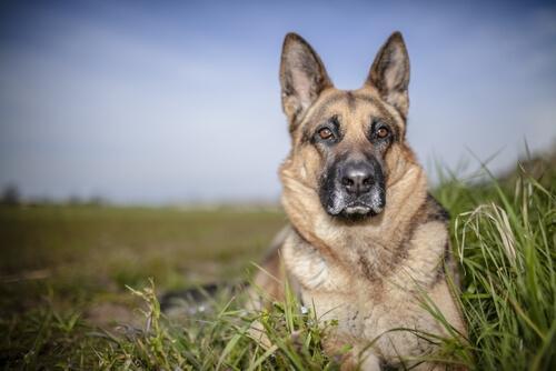 Årvågen schæferhund