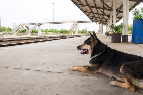 En schæferhund på en station
