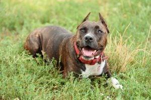 Glad hund i græsset