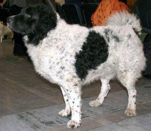 Hollandsk vandhund