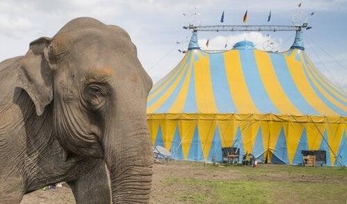 Elefant står ude foran et cirkus