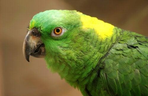 Depression hos papegøjer: Årsager og symptomer