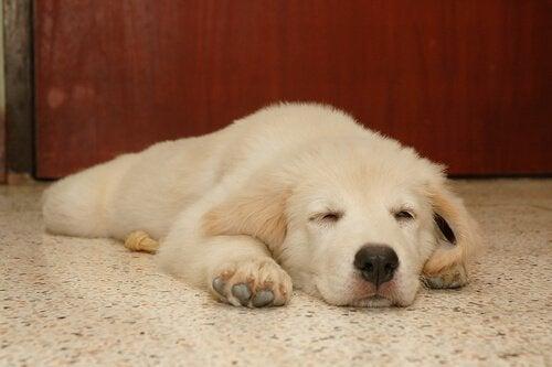 Hvad drømmer hunde om? Må jeg vække den?