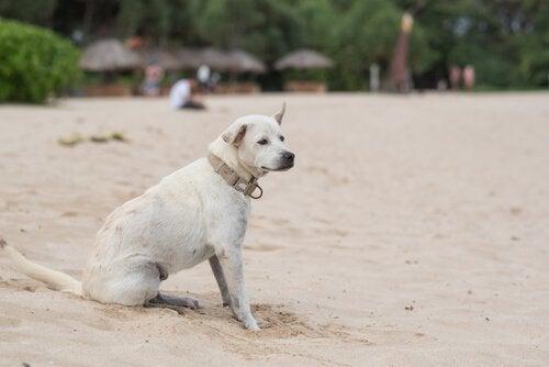Epilepsi hos hunde: Hvordan ser det ud?