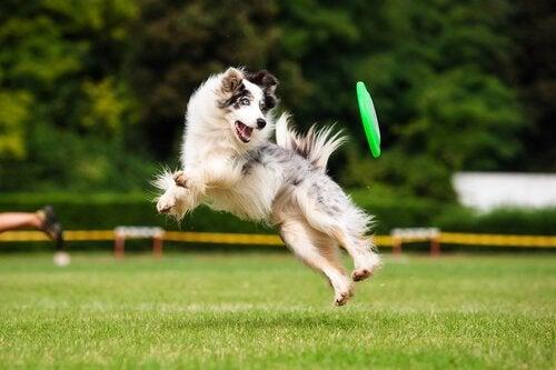 en freesbee er en god aktivitet til hunde