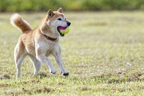 Hund der leger med en bold