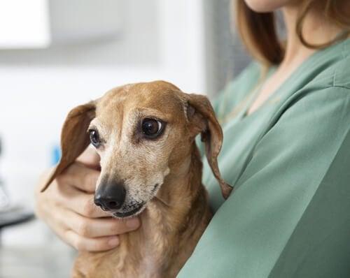 Sådan tager du dig af en hund med epilepsi