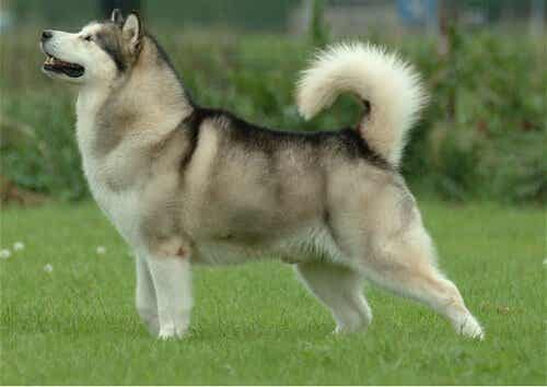 Hunderacer der ligner ulve
