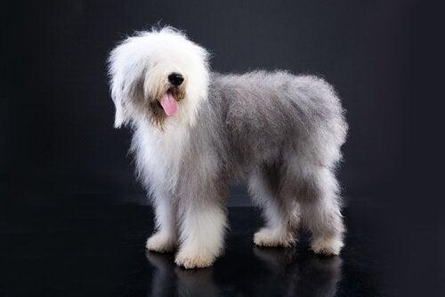 Hunde med korte haler