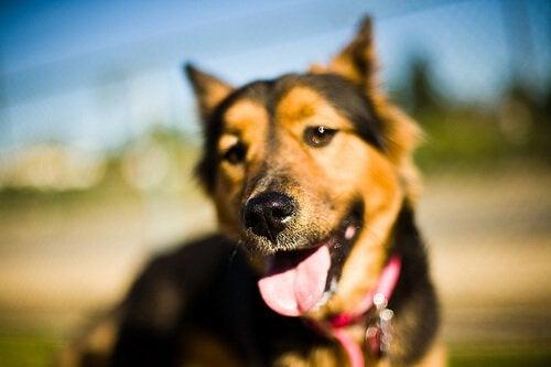 en hund vil bruge de andre sanser hvis den bliver blind