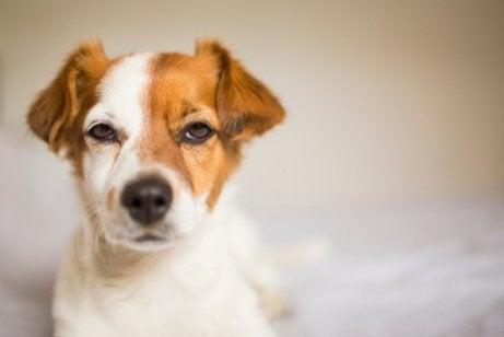 Hvorfor bliver hunde jaloux?
