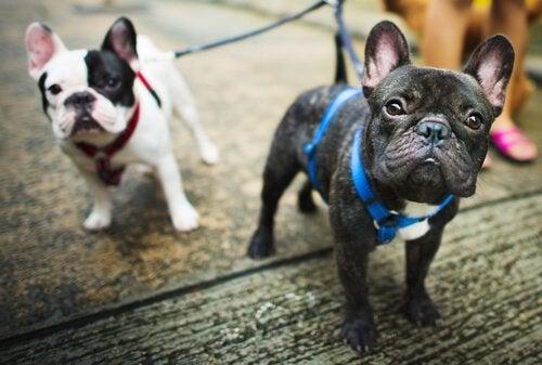 Hvad er en hund med stamtavle?