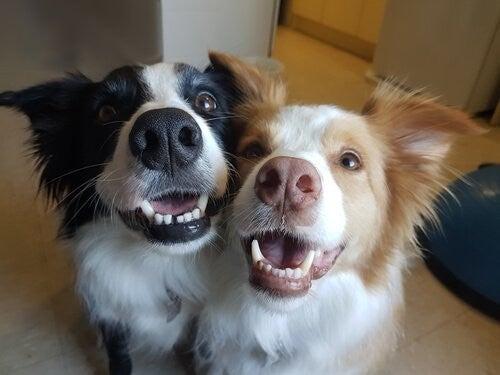 Hunde smiler til kameraet