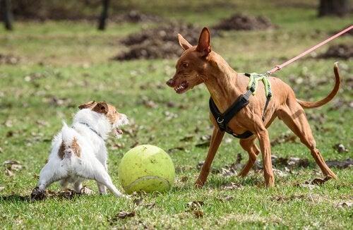 To hunde kæmper om en bold