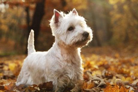 hunden kaldes også westie