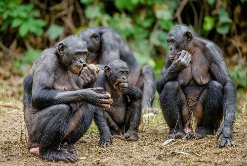 Bonoboer ligner chimpanser