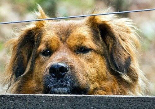 Smitsom leverbetændelse hos hunde