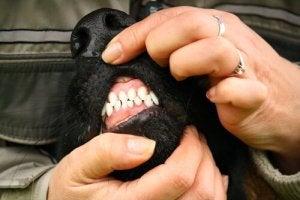 Hund der får blottet sine gummer.