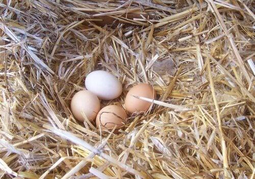 Sådan kan du forbedre din hønes æggekvalitet