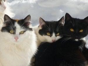 Japansk bobtail kat