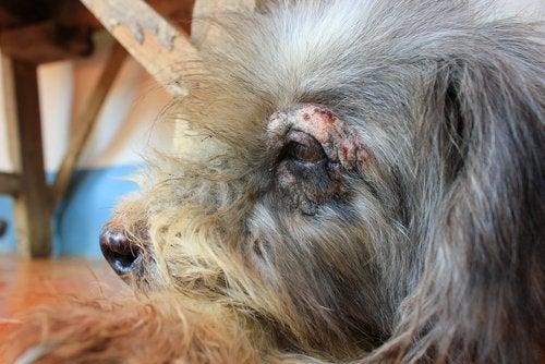 Hund med sår om øjet