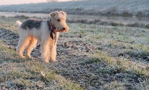 En fox terrier på en mark