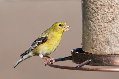 Fugl spiser fuglefrø