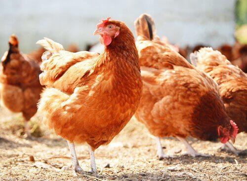 Høns spiser