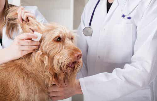 Hunderacer med tendens til at få øregangsbetændelse