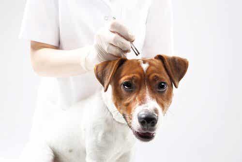 Beskyt din hund imod flåter med ingredienser fra køkkenet