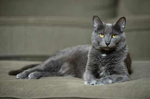 Korat-katten er en smuk race