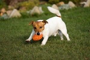 Hund løber i have med det bedste legetøj til en hund