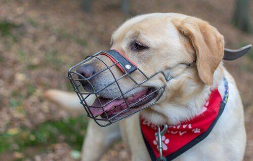 Sådan lærer du din hund at gå med mundkurv