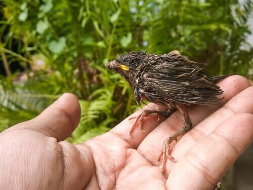 Sådan fodrer du en baby fugl