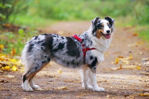 Hund med rød sele