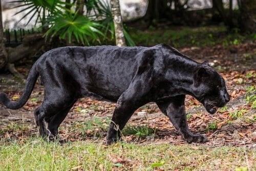 Panteren: Karakteristika, adfærd og habitat