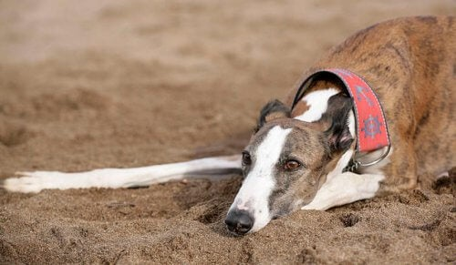Springremme til greyhounds: Godt eller skidt?