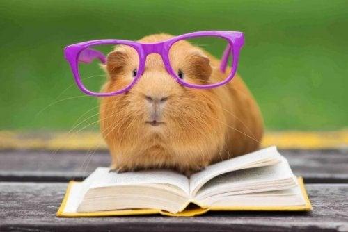 Marsvin med briller og en bog. tricks du kan lære dit marsvin