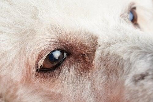 De første symptomer på øjenbetændelse i hunde