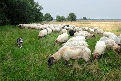 Hyrdehund og fåreflok.