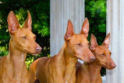 Etna hunden: En lille og fleksibel jæger