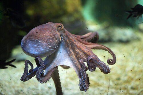 blæksprutten kan huske steder