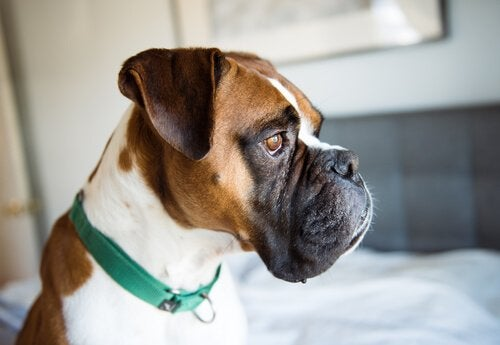Sådan opdager du depression hos din hund