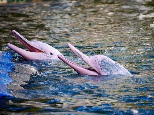De lyserøde floddelfiner