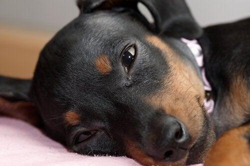 Hund med tårer i øjnene
