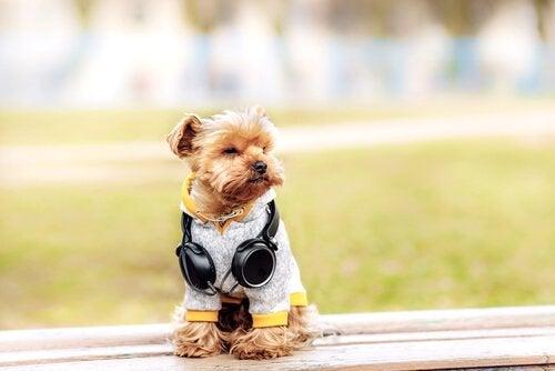 6 moderigtige ting til din yorkshire terrier